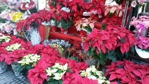Flowers at Christmas in malaga