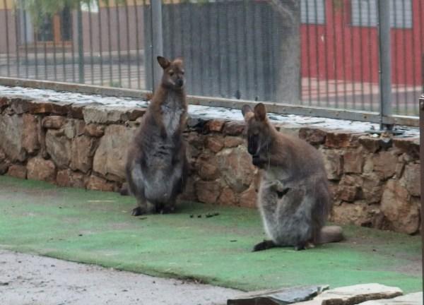 wallabies at parks in Malaga