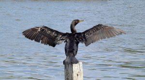 cormorants in Malaga