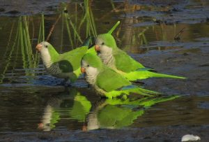 birds to see in Malaga monk parakeets