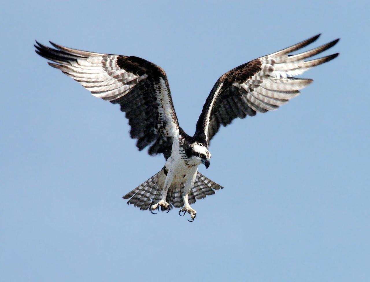 Osprey birdwatching in Malaga
