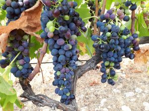 ripened grapes on vines