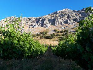 Vines on Malaga wine tasting tour