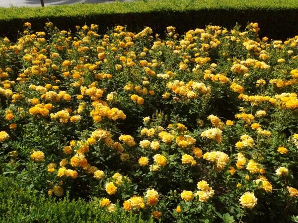 yellow roses in Malaga in june