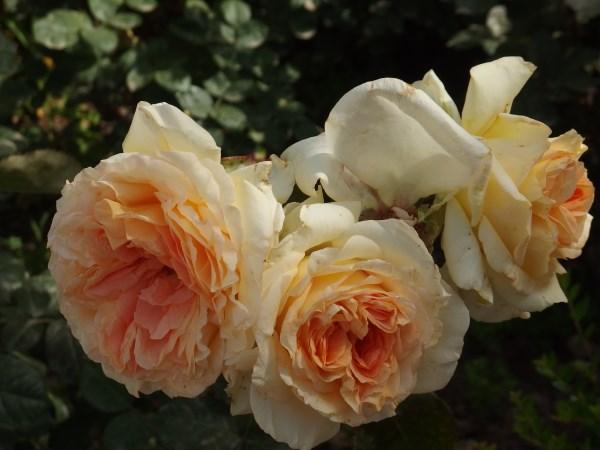 roses in Malaga